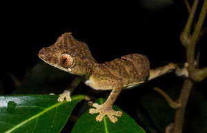 Uroplatus finiavana (Leaf-tailed Gecko)