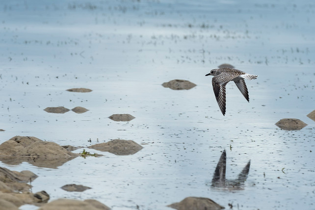 7 MAY 2021 | BLACK-BELLIED PLOVER