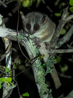 Bongalavo Mouse-Lemur has been seen and photographed by very few