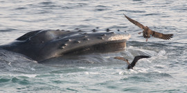 Humpback Whale with Greater and Cory's Shearwaters