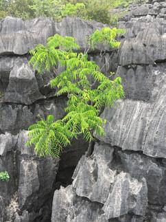 The tsingy is another botanical wonderland. This strange plant is Zanthoxylum decaryi