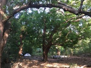 Ken's camp under huge mango trees