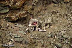 Snow Leopard visiting a Blue Sheep kill. Ken's top lifetime wildlife experience.