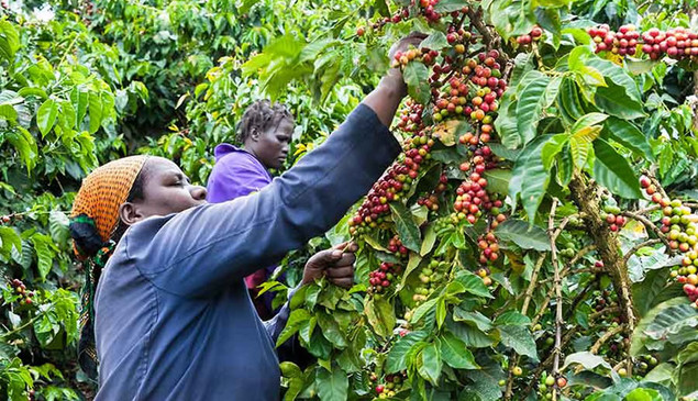 Kenya Coffee Plantations