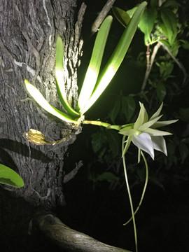 A critically endangered Angraecum potamophilum orchid at Bongalava