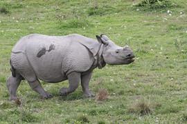 Indian Rhinoceros in Kaziranga, India (3
