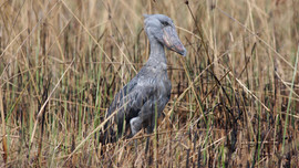 #1 The utterly unique Shoebill