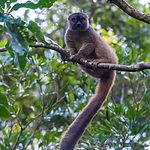 Sanford's Brown Lemur1_fb.jpg