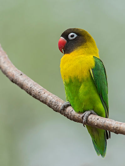 Yellow-collared Lovebird_fb.jpg