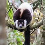 Black-and-white Ruffed Lemur_fb.jpg