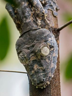 Giant Leaf-tailed Gecko; Uroplatus giganteus
