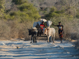 Ox Cart in the Spiny Forest