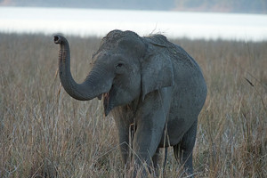 Asian Elephant in Corbett National Park, northern India