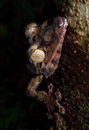Uroplatus fimbriatus (Leaf-tailed Gecko)
