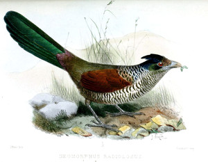 Banded Ground-Cuckoo, one of Ecuador's hardest-to-see birds