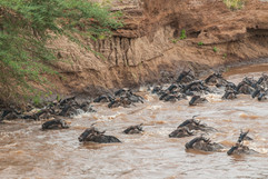 Blue Wildebeest crossing the Mara River