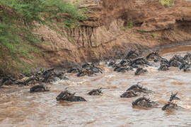 Blue Wildebeest crossing the Mara River