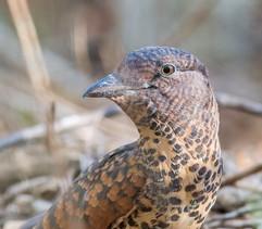 Madagascar Cuckoo Roller female