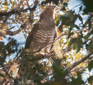 Madagascar Serpent-Eagle