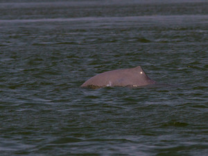 Irrawaddy River Dolphin in the Mekong River, Cambodia