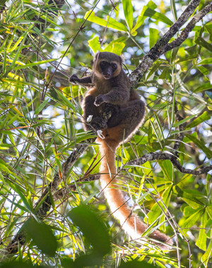 Golden Bamboo Lemur, the raison d'être of Ranomafana, and a lemur whose discovery Emile was involved