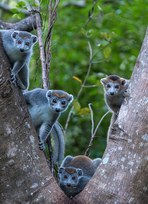 Crowned Lemur, a species being studied by the Madagascar Biodiversity Partnership