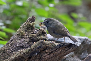 White-gorgeted Flycatcher at Doi Lang