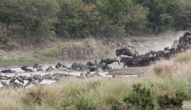 Blue Wildebeest stampeding across the Mara River