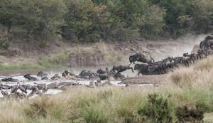 Blue Wildebeest stampeding across the Mara River