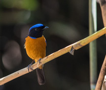 RUFOUS-BELLIED NILVAVA