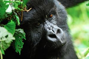 Silverback male Mountain Gorilla