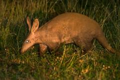 Aardvaark, Charley's top lifetime mammal