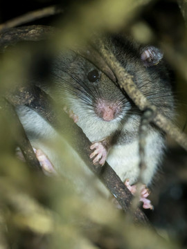 Voalavoanala, an incredibely round endemic rodent!