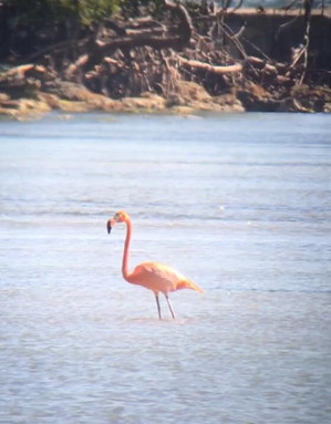 American Flamingo in Florida