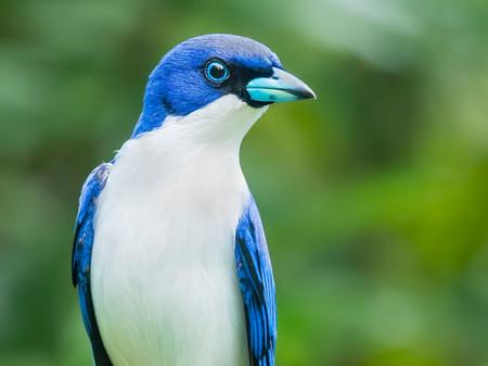 MADAGASCAR BLUE VANGA