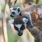 Ring-tailed Lemur_fb.jpg