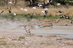 Waterhole mayhem as a Lioness takes down a Southern Oryx