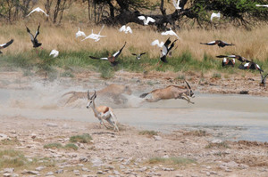 Waterhole mayhem as a Lioness takes down a Southern Oryx