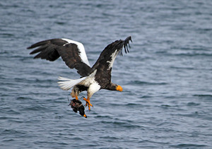 This Steller's Sea-Eagle caught a Black Scoter