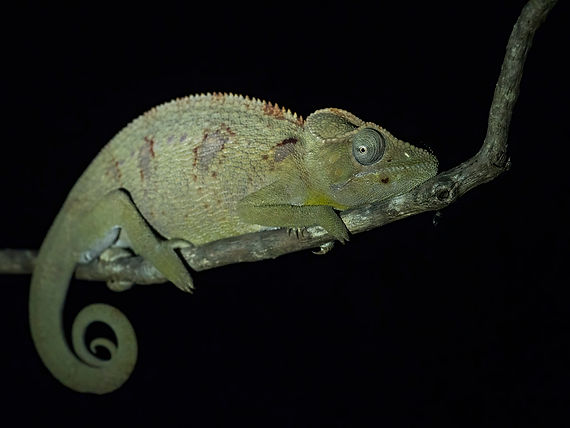 Oustalet's Chameleon_fb.jpg