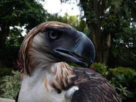 Captive Philippine Eagle