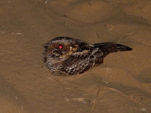 Fiery-necked Nightjar, a common nighttime sound in South Africa