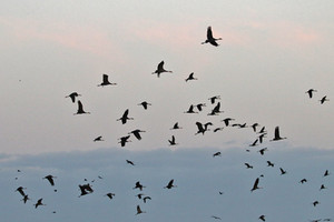Thousands of cranes fly in to the feeding site at dawn