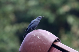 Blue Rock-Thrush on the roof of the restaurant