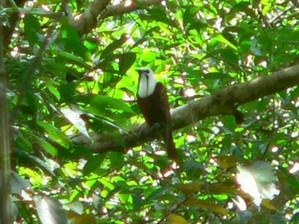 Crap photo of a Three-wattled Bellbird, Costa Rica