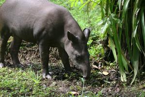 Tame Lowland Tapir in Peru