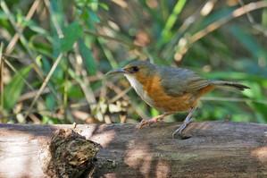Rusty-cheeked Scimitar-Babbler at Doi Lang