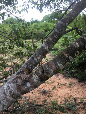 Thicket on the Orangea Peninsula