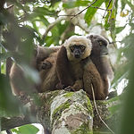 white-fronted brown lemur_fb.jpg