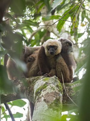 White-fronted Brown Lemur, a specialty of northeast Madagascar